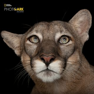 A federally endangered Florida panther, photographed at Tampa's Lowry Park Zoo. Photo (c) Joel Sartore  / National Geographic Photo Ark / natgeophotoark.org